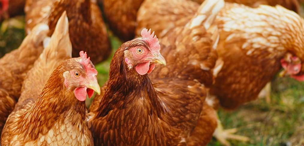 Gesunde Legehennen – Gesunde Eier